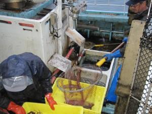 道南スルメイカ漁~船の水槽から生きた状態で水揚げ
