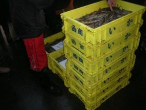 道南スルメイカ漁~「生け簀イカ」として魚市場へ入荷